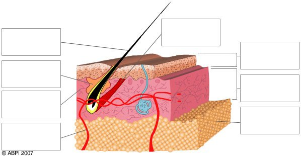 Quiz skin abpi resources for schools diagram showing the layers of the skin ccuart Choice Image
